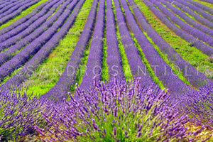 Wall Pictures - PROVENCE Lavender Fields - PRO8828