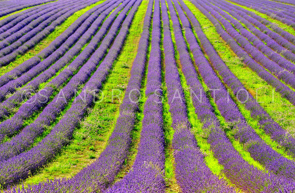 Wall Pictures - PROVENCE Lavender Fields - PRO8829
