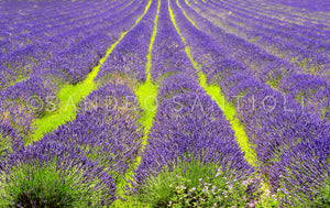 Wall Pictures - PROVENCE Lavender Fields - PRO8989