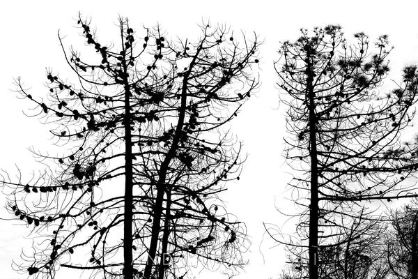 Wall Pictures -  TREES B/W - TOS4803