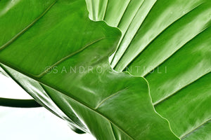 Wall Pictures - BOTANIC - TOS5016