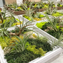 Close up shot of many airplant greenwalls