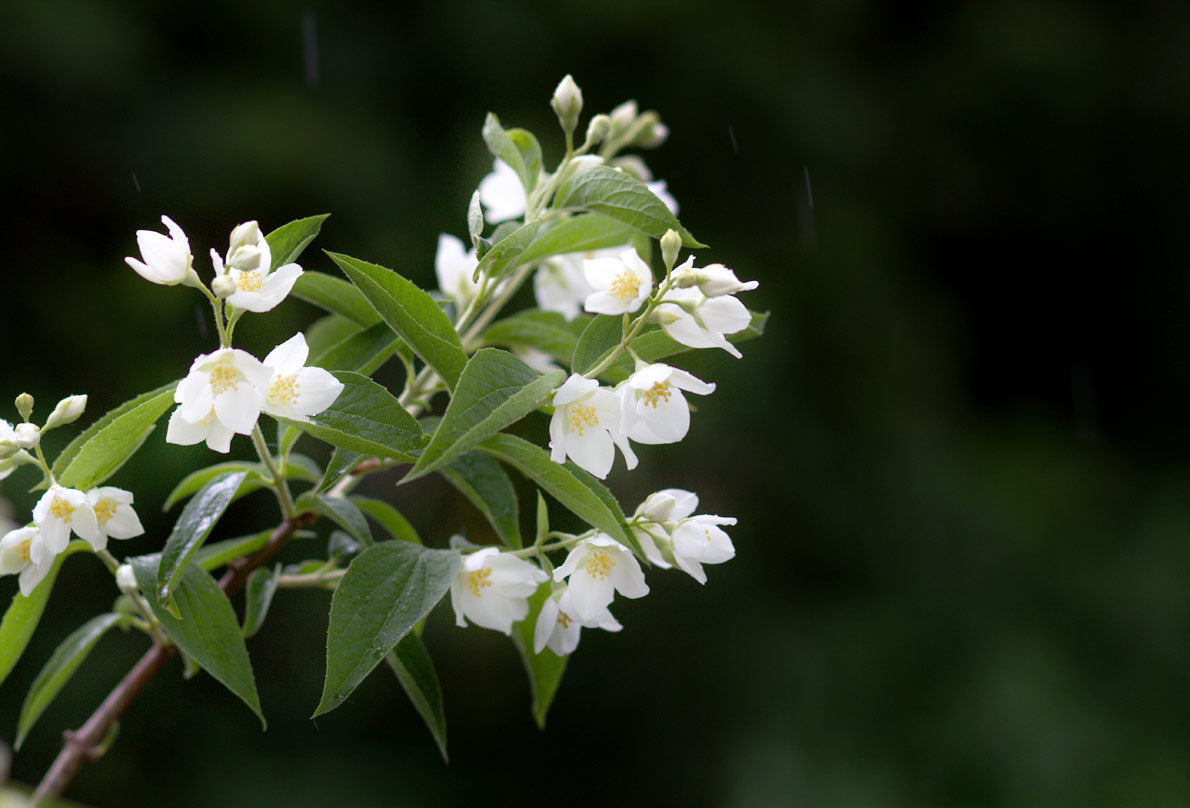 Jasmine benefits and uses hysses jasmine benefits and uses izmirmasajfo