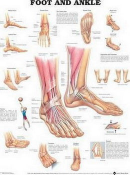 Foot and Ankle Anatomical Chart Laminated