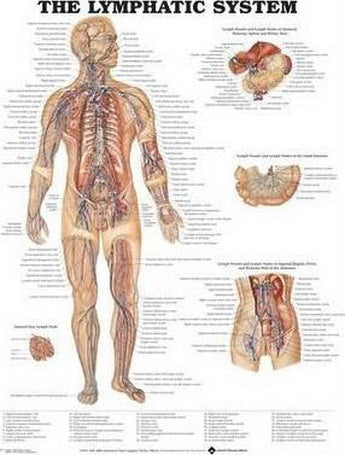 The Lymphatic System Laminated