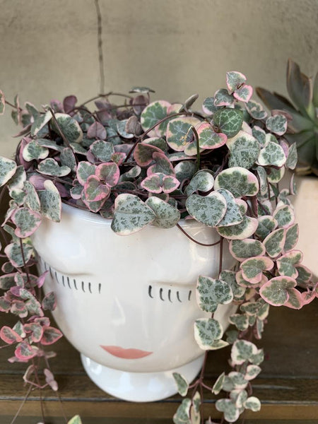 Variegated String Of Hearts Care Tips from Natures Planters by Tory Rand