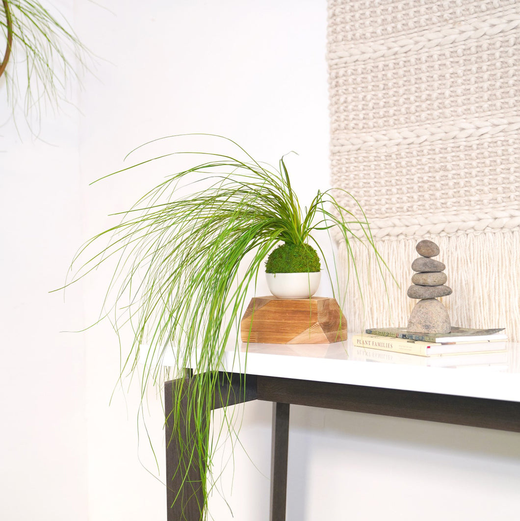 Bear Grass Kokedama - Sitting or Hanging - Preserved Moss and Fern Plant