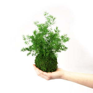Kokedama Pine Fern. Hanging Moss and Fern Plant