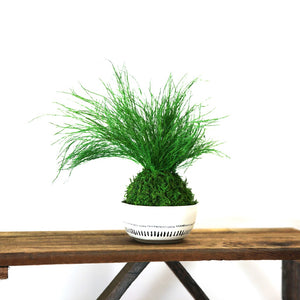 Set of 3 Kokedama Ferns Sitting Moss and Fern Preserved Plant