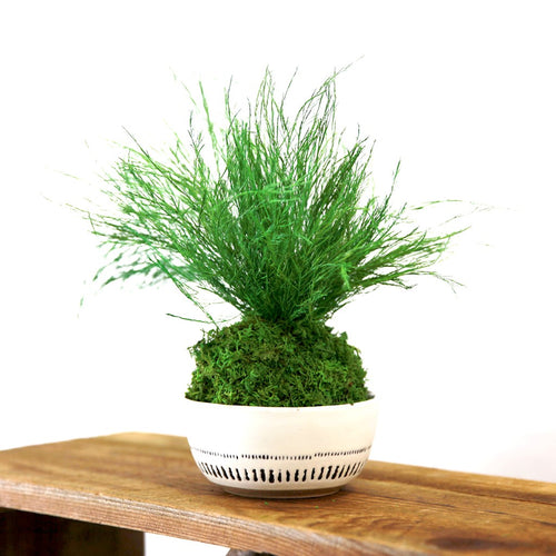 Kokedama Grassy Fern Sitting Moss and Fern Plant