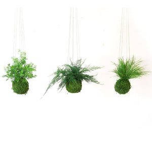 Kokedama Pine Fern. Sitting or Hanging Preserved Moss and Fern Plant