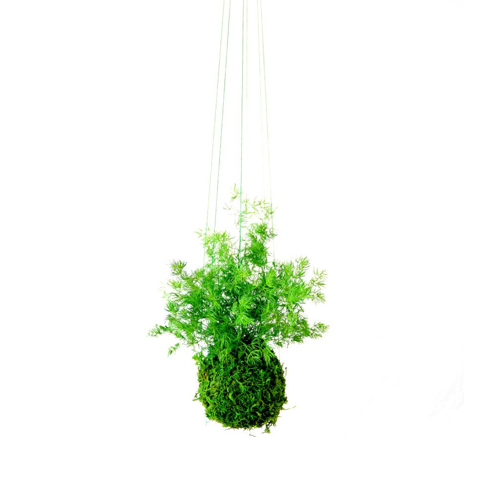 Pine Kokedama, Preserved Moss and Fern Plant - Hanging or Sitting