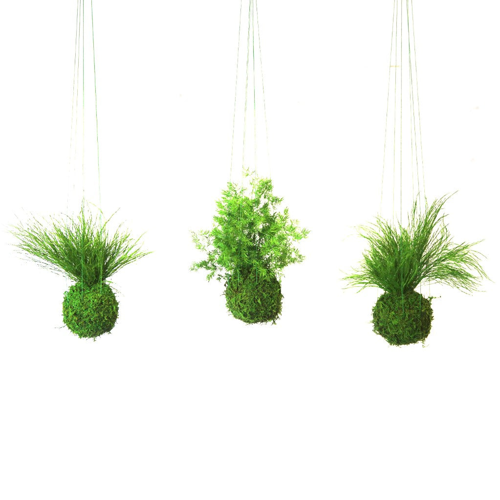 Set of 3 Kokedama Ferns Hanging Moss and Fern Preserved Plants