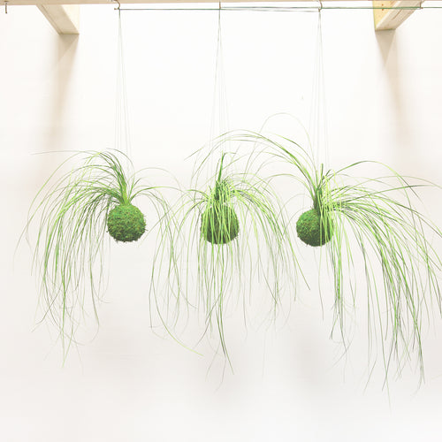 Set of 3 Kokedama Bear Grass Hanging Moss Ball