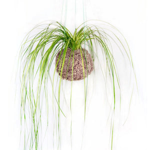 Set of 3 Kokedama Bear Grass Moss Balls, hanging or sitting