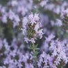 Thyme Thymol | Organic | 15g (16.67 ml) - Petal and Stem