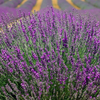 Lavender Vera - Lavandula Angustifolia - Petal and Stem