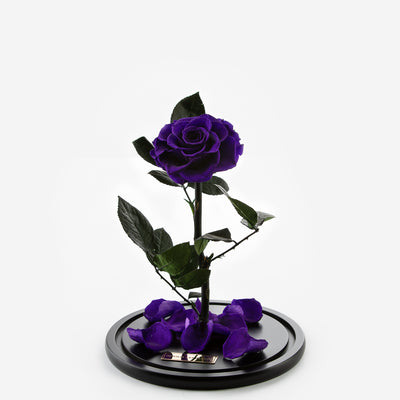 The Timeless Rose  - Dark Purple