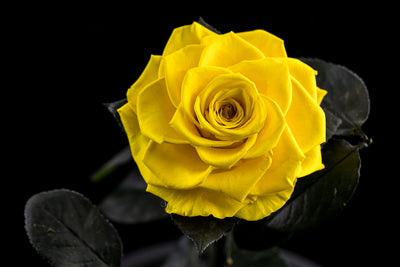 The Timeless Rose - Yellow