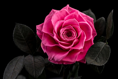 The Timeless Rose - Pink