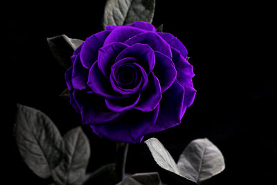 The Mini Timeless Rose - Dark Purple