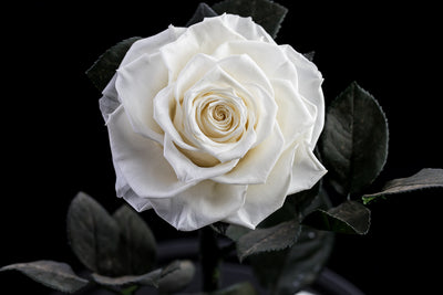 The Timeless Rose  - Diamond White