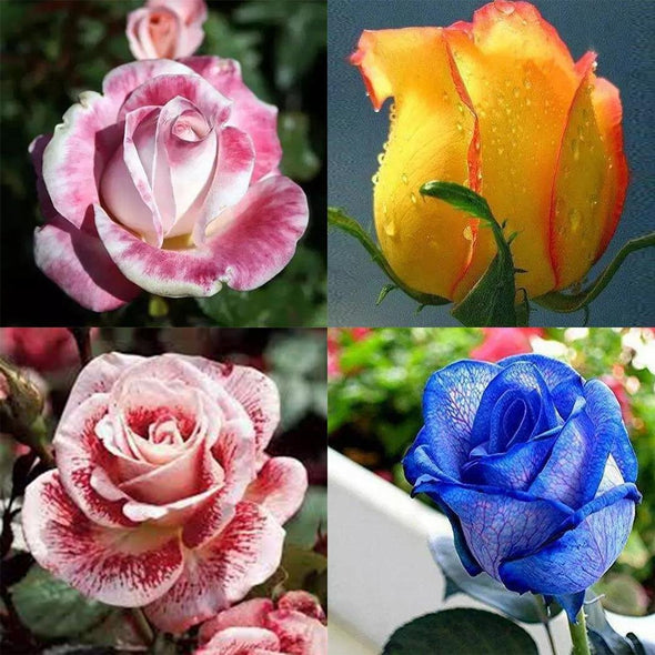 PACK GRAINES DE ROSES MULTICOLORES x200
