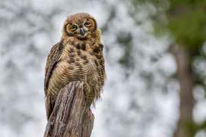 Young Great Horned Owl -'Bubo virginianus'