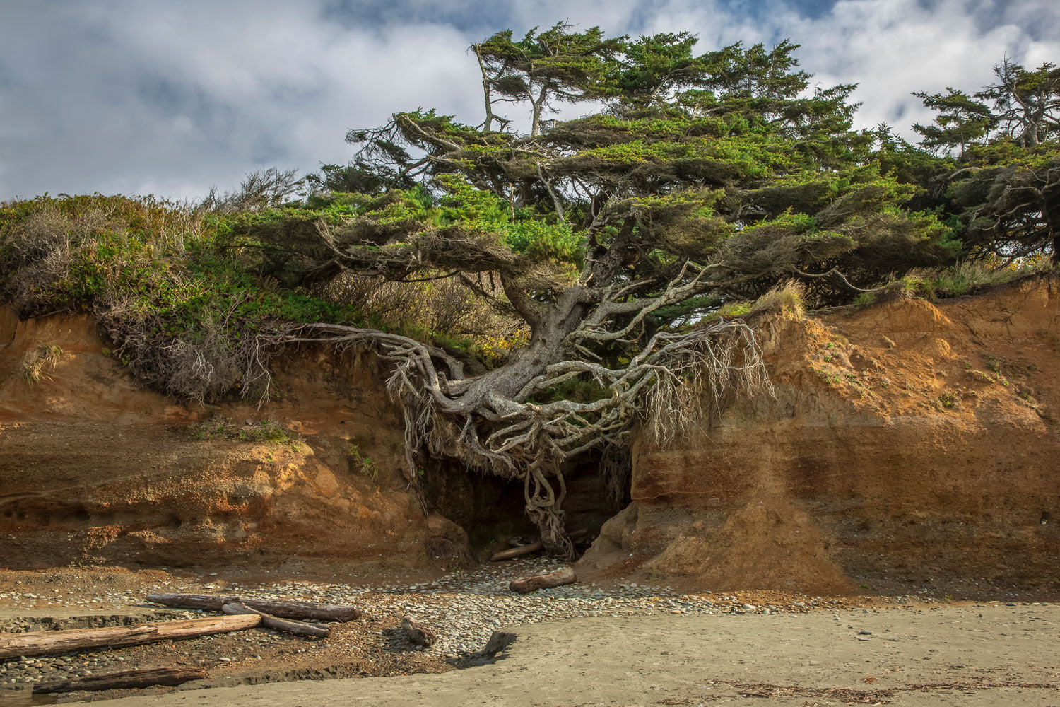 'Tree of Life' - Kalaloch Beach, Washington