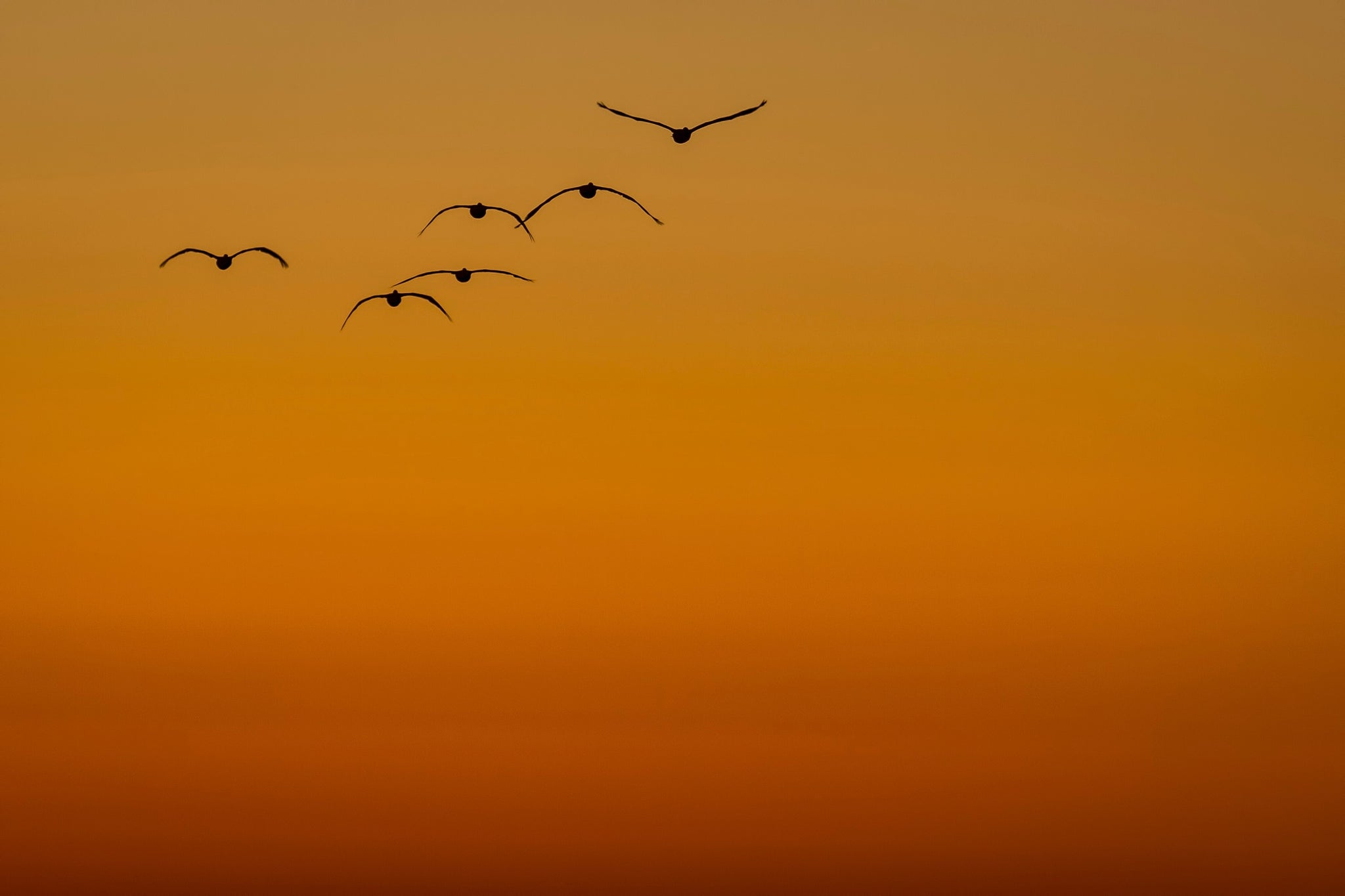Brown pelicans fly off into the sunset.