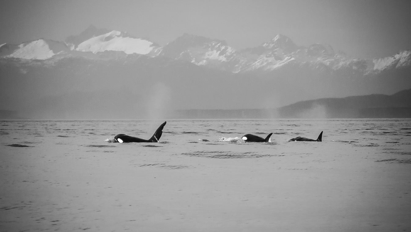 Orca's in the Georgia Strait, BC