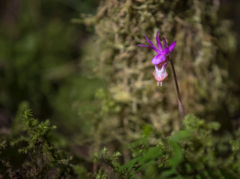 Calypso Orchid (Calypso bulbosa)  Common name - Fairy slipper