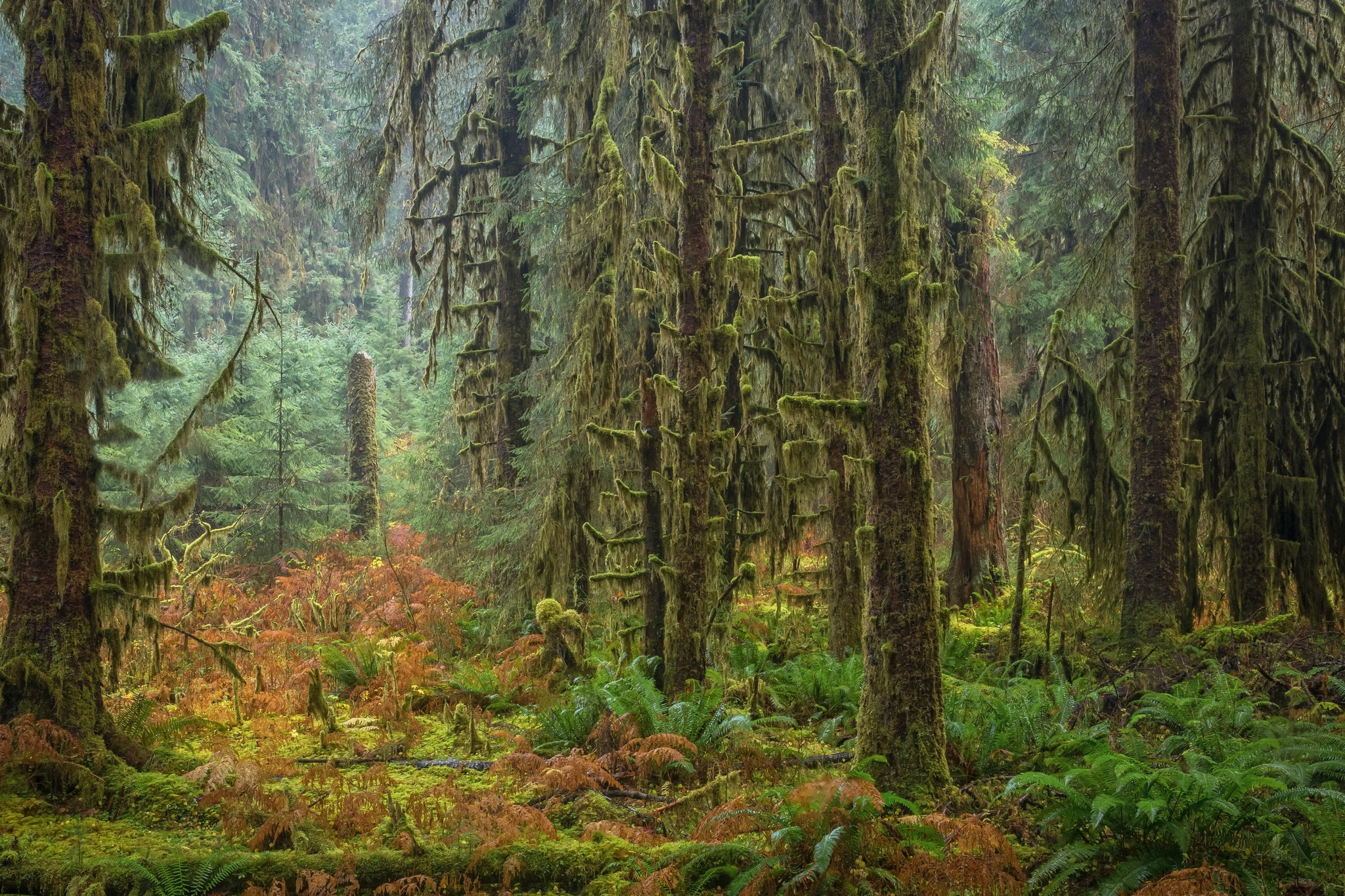 Beautiful and mystical Hoh rainforest, Washington