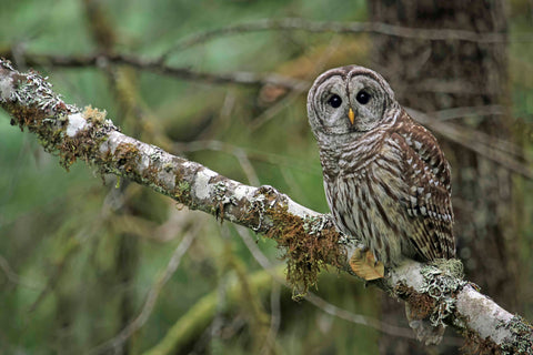 Barred owl  ~Strix varia~