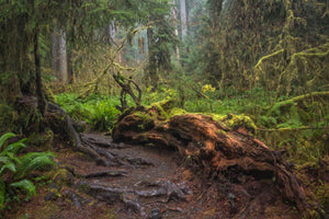 Hoh Rainforest - Hall of Mosses - Olympic Peninsula, Washington