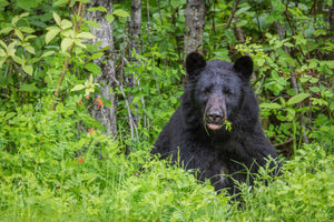 Black Bear - Northern, BC