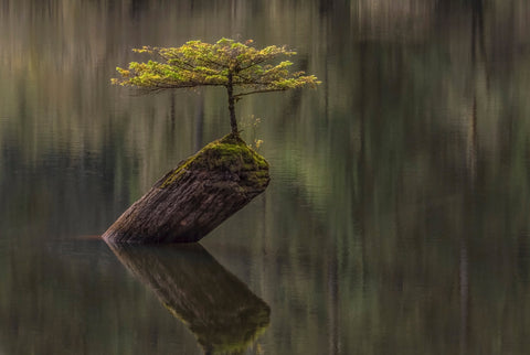 Fairy Lake Bonsai Tree - Vancouver Island, BC