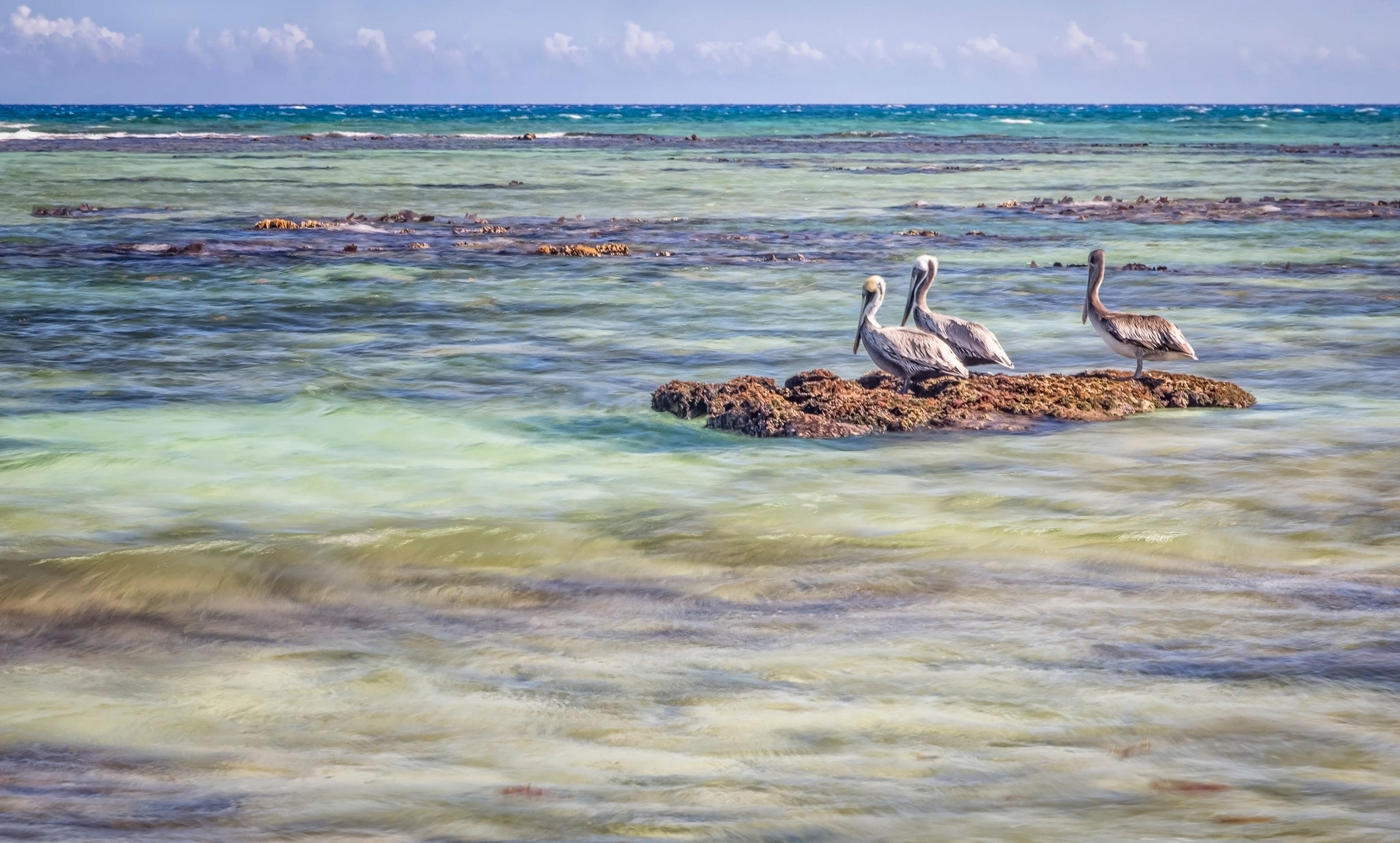 'Three Pelicans'