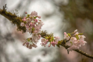 Yoshino Cherry Tree Blossoms (Prunus yedoensis)