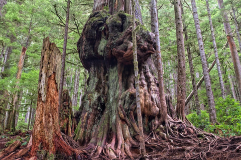 Canada's Gnarliest Tree - A giant western red cedar