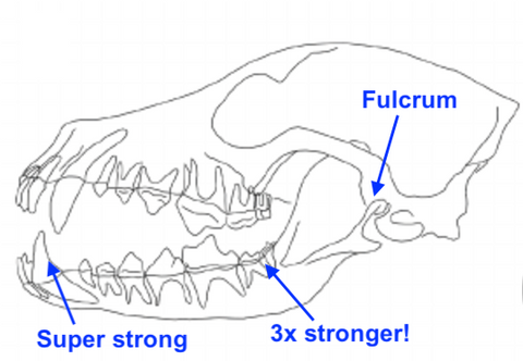 Image demonstrating jaw strength of dogs.