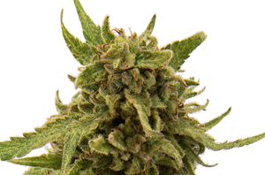 Medical Cannabis Strains: The top 10 cannabis strains for medical use - PART 2