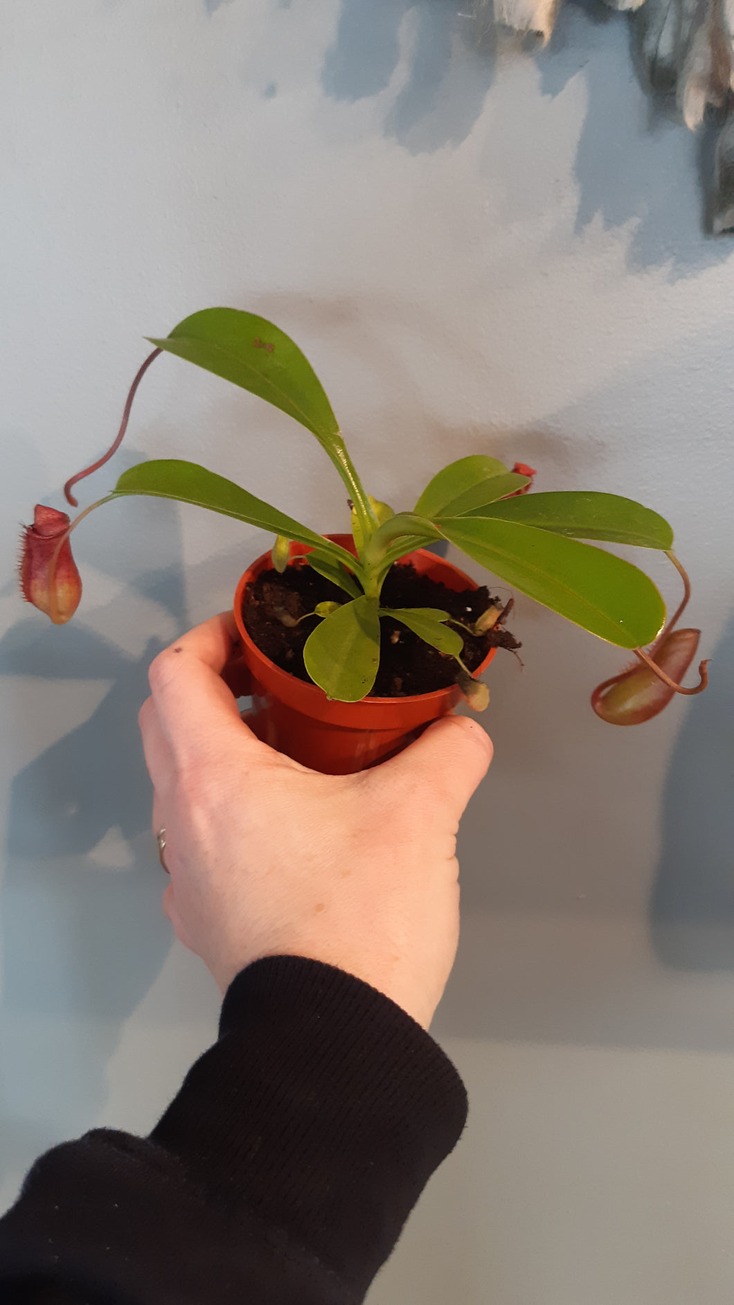 Nepenthes (Pitcher Plant)