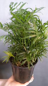 Neanthe Bella Palm