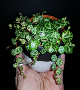Peperomia Prostrata (String of Turtles)