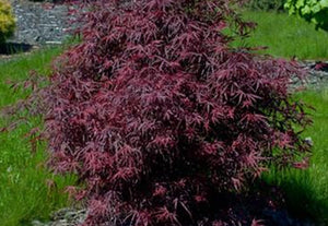 See our Pruning Japanese Maples Video!