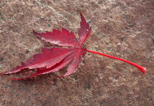 Planting and Cultural Information for Japanese Maples