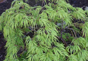 Weeping and Cascading Laceleaf Maples