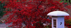 Japanese Maples for Sale Online