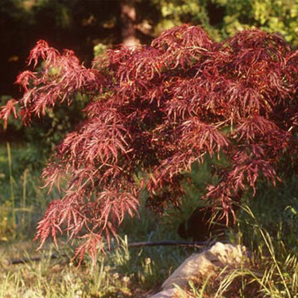 Japanese Maples Page 3 Essence Of The Tree